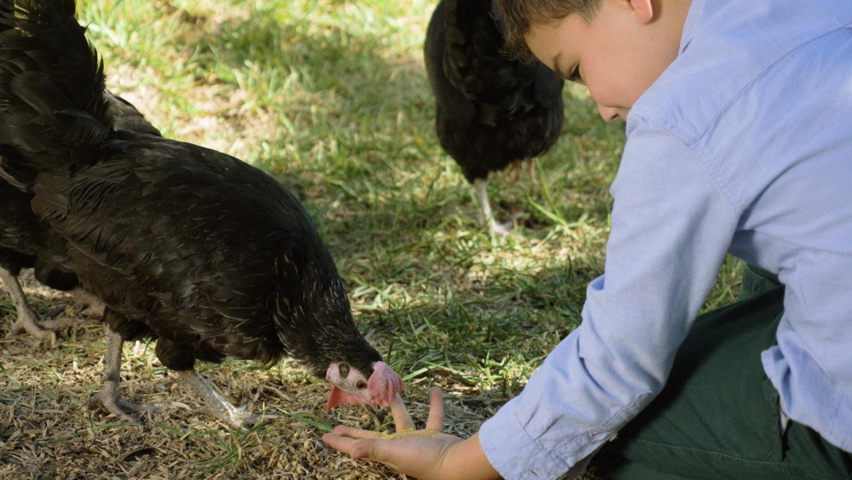 Niño y gallinas picoteando de su mano, naturaleza, bienestar animal, salud